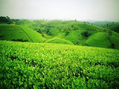 Quy trình thực hành sản xuất nông nghiệp tốt (VietGAP) cho chè búp tươi an toàn