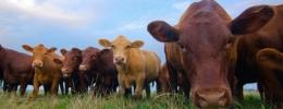 Quy trình thực hành chăn nuôi Bò thịt theo VietGAHP