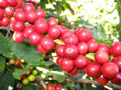 Quy trình thực hành sản xuất nông nghiệp tốt (VietGAP) cho cà phê