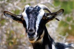 Quy trình thực hành chăn nuôi Dê thịt theo VietGAHP