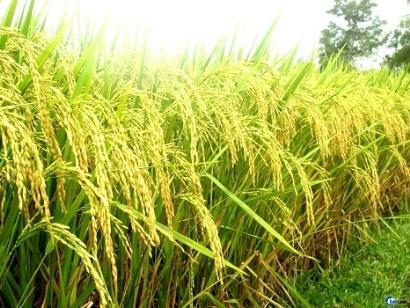 Chất lượng vật tư nông nghiệp - Còn nhiều bất cập