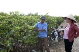 VinaCert đánh giá VietGAP ổi tại Hợp tác xã Đông Dư