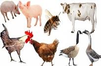 Lợi ích của chứng nhận VietGAP chăn nuôi